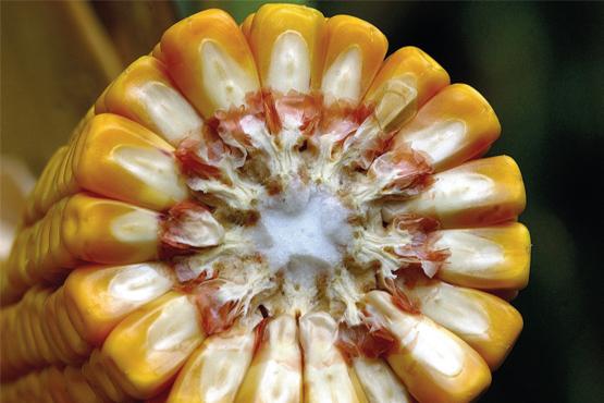 Посухостійкі гібриди кукурудзи РАЖТ H2O Stressless - гарантія високого врожаю