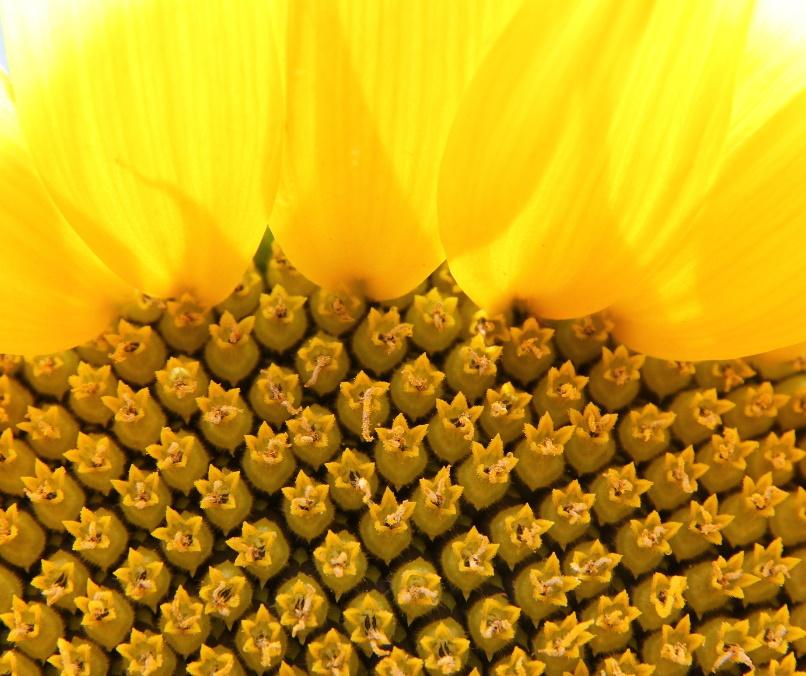 ДОДАТКОВИЙ ПРИБУТОК з гібридами соняшнику РАЖТ
