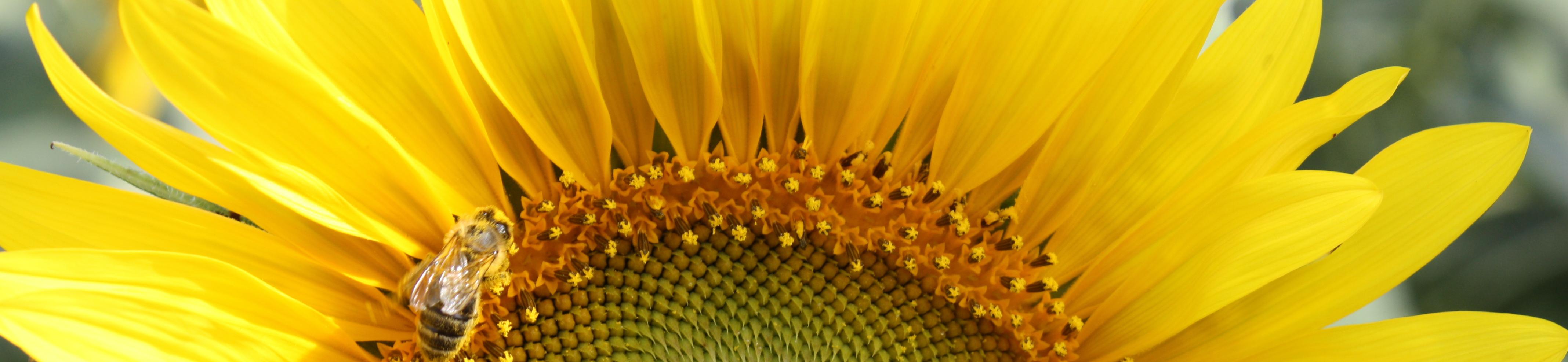 РЖТ ВОЛЛЬФ - лідер серед гібридів соняшнику в ранньостиглій групі