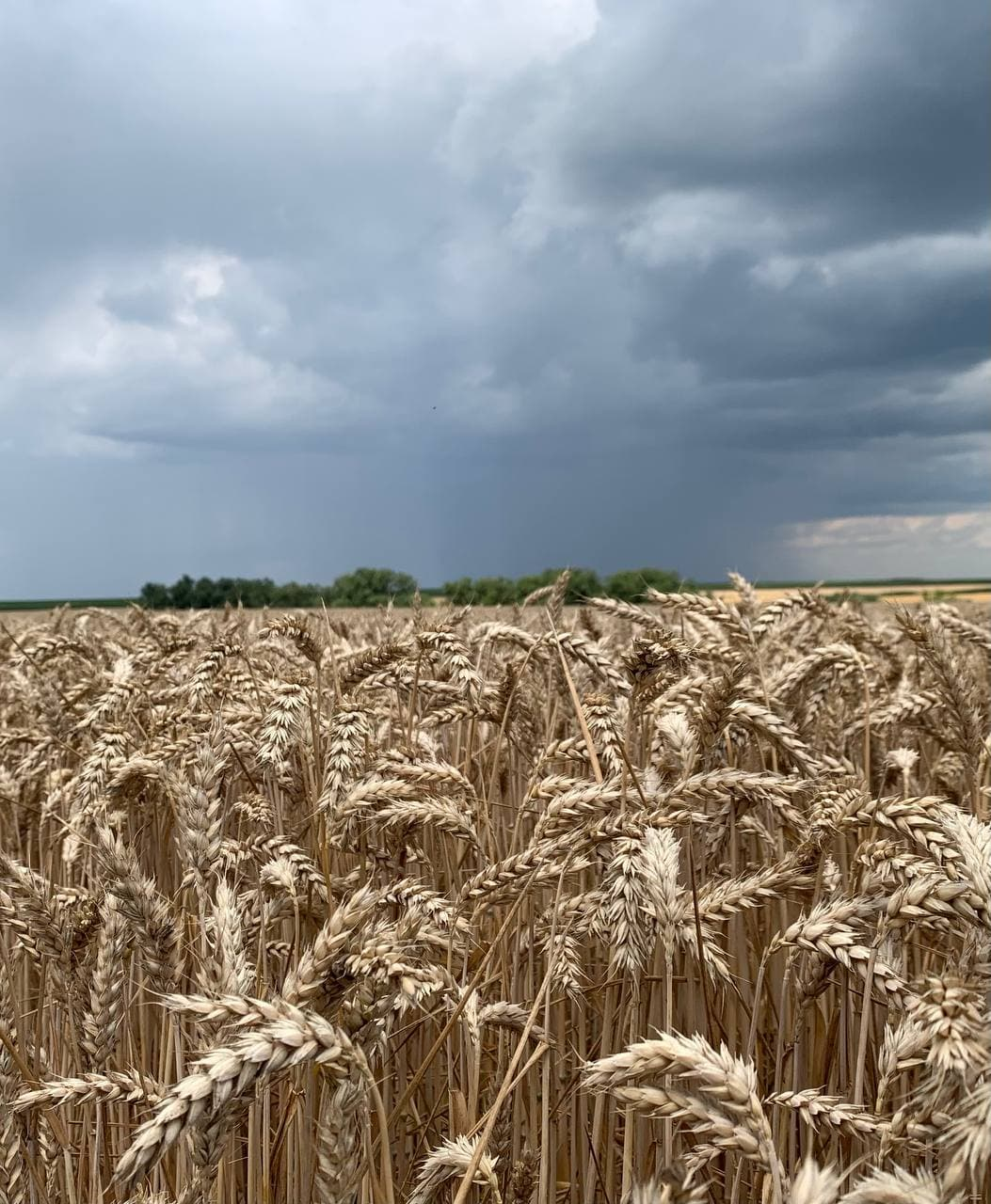 RAGT та Bayer підписали угоду щодо створення інноваційної селекційної програми гібридної пшениці