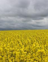 Урожайність товарних посівів озимого ріпаку РАЖТ 2020